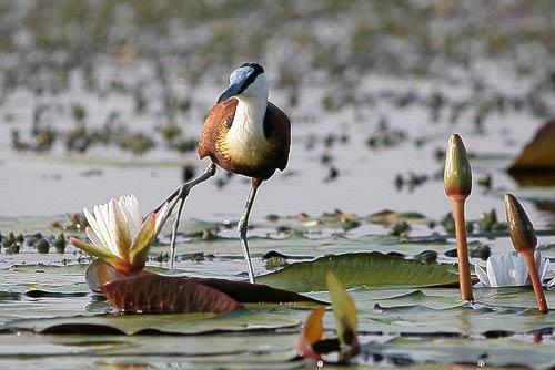 Fröhlich hält dieses Blatthühnchen Balance - kann das der Fotograf auch?