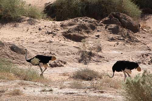 Strausse finden auch in der Wüste noch Futter
