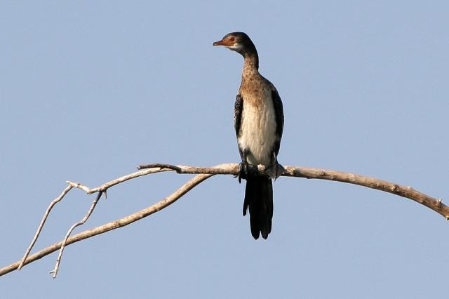 weissbrust-kormoran